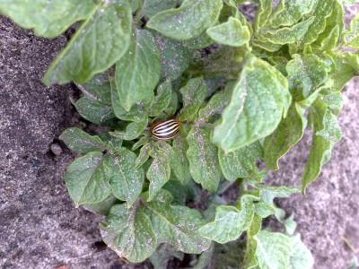 Колорадские жуки не выносят запаха куриного помета