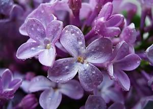 Сиреневые соцветия