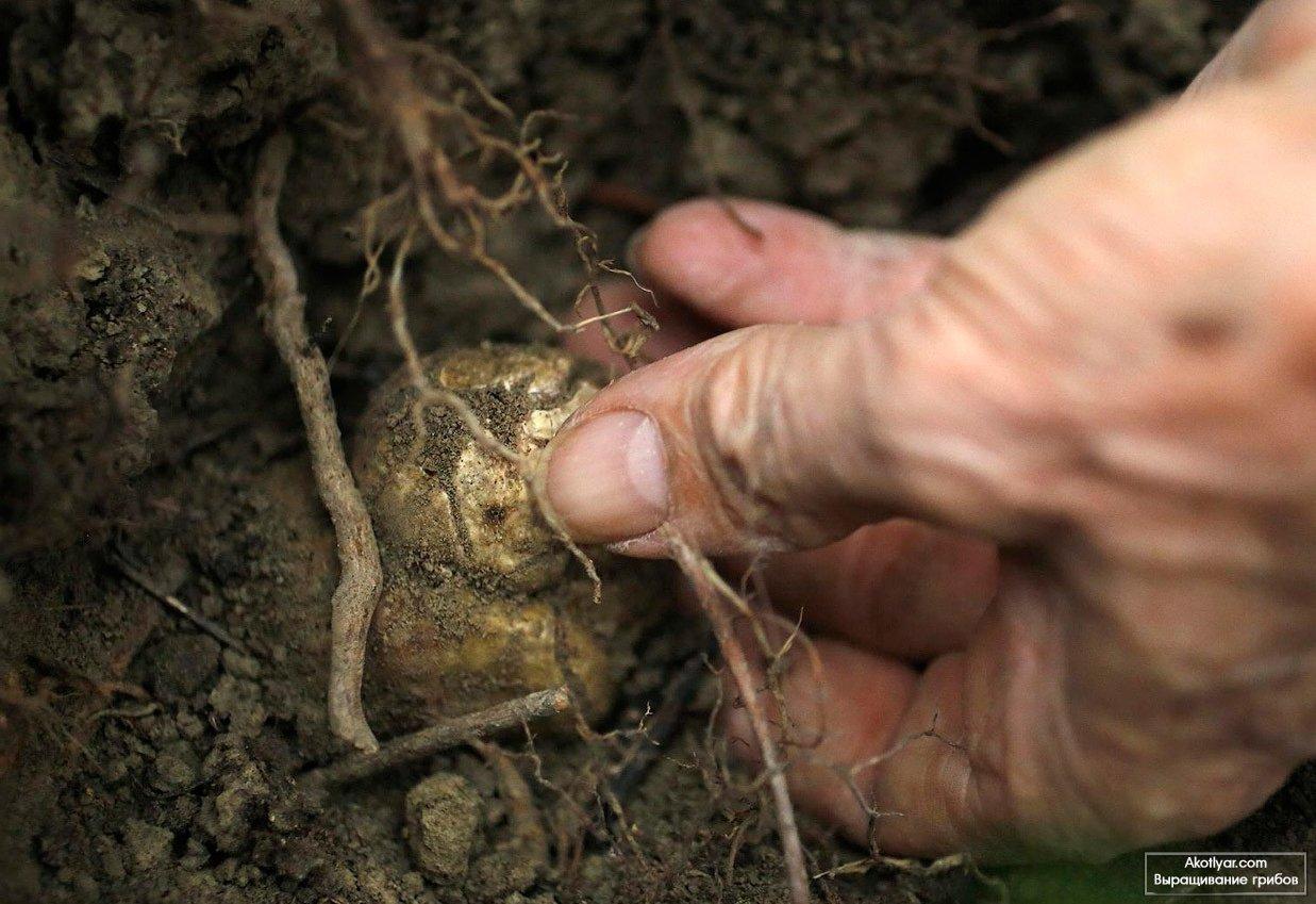 съедобные грибы костанайской области в картинках